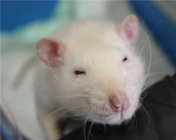 Лечение порфирина у крыс в домашних условиях